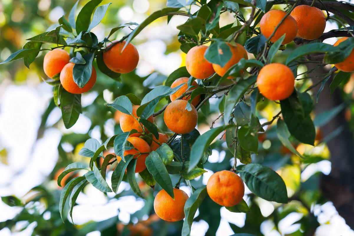 Drzewka cytrusowe na balkonie - jakie warto hodować?