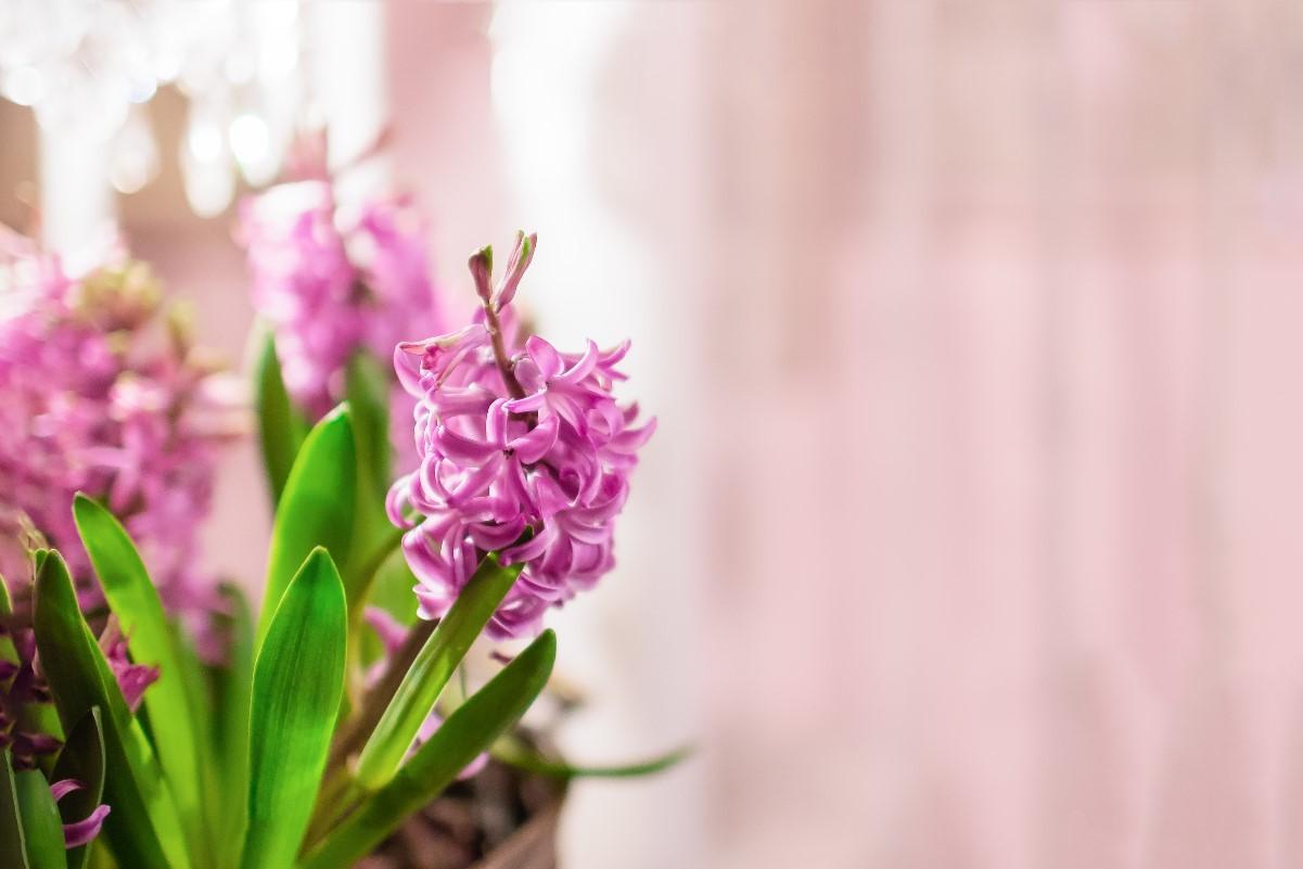 Hiacynt w domu – idealna roślina na wiosnę