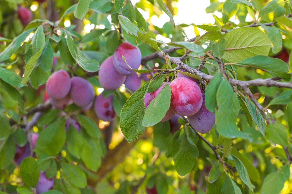Kiedy sadzić drzewka owocowe?