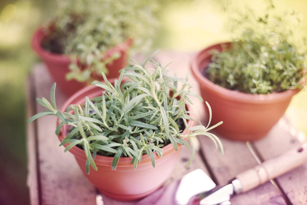 Tymianek - uprawa w ogródku