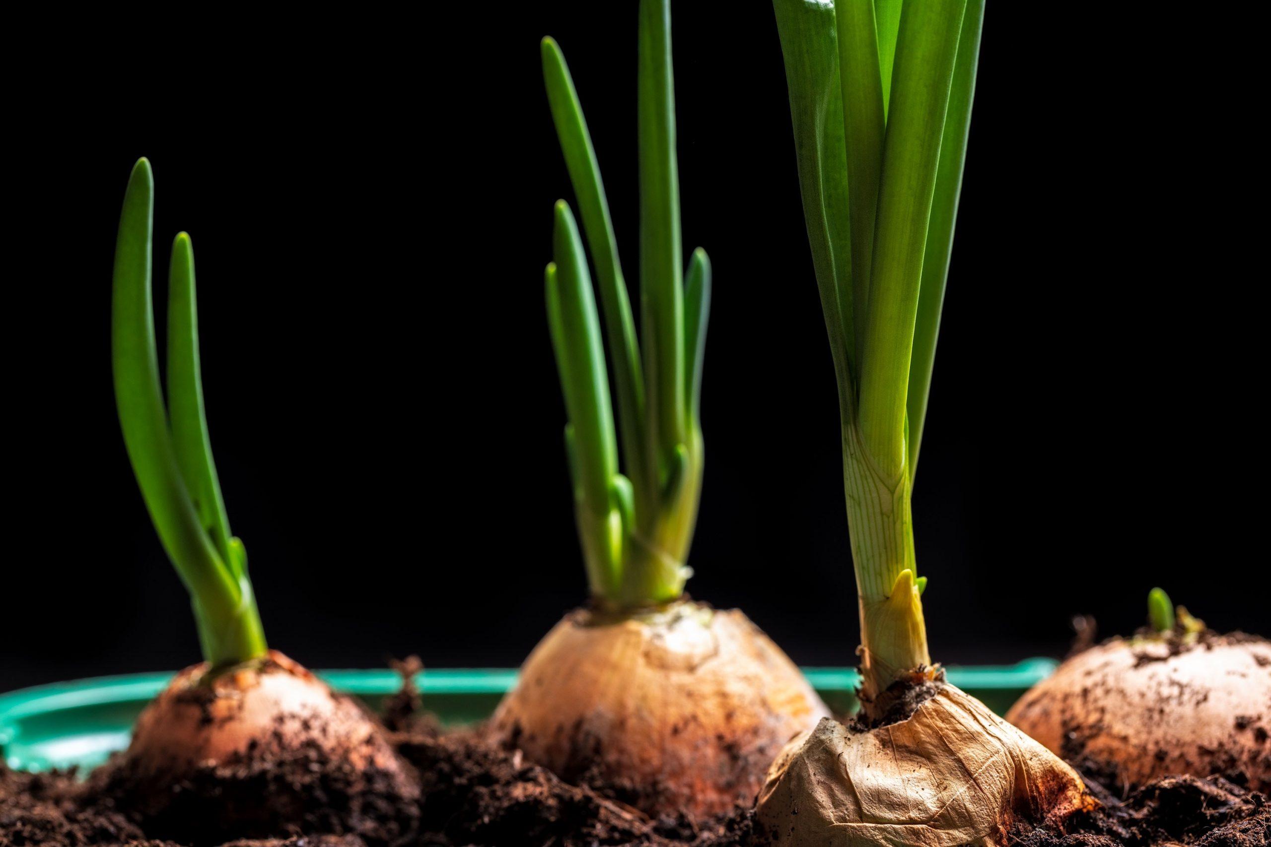 Uprawa cebuli z dymki - co musisz wiedzieć?